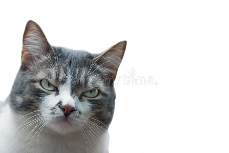 一只灰色猫的画象与皱眉的眼睛的和在白色背景的严厉神色 免版税库存图片
