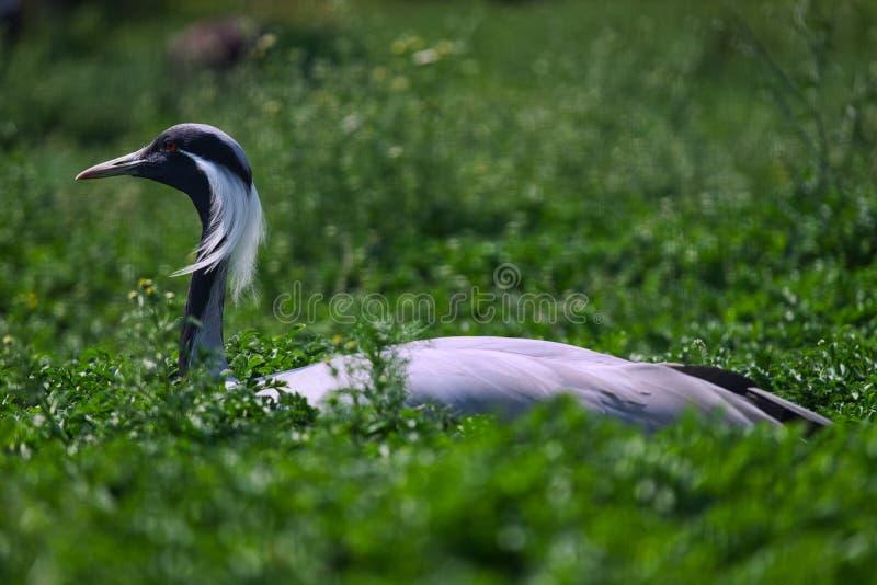 一只灰色苍鹭的特写镜头 免版税库存图片
