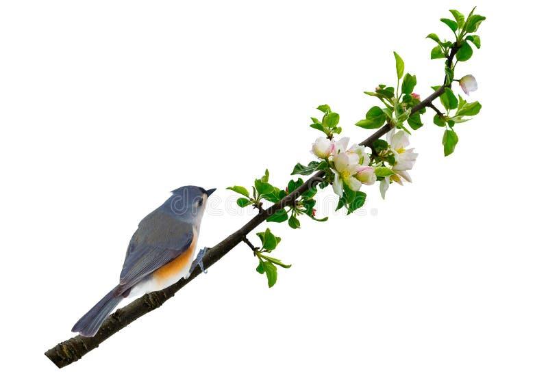 一只灰色鸟在桃树开花分支栖息  免版税库存图片