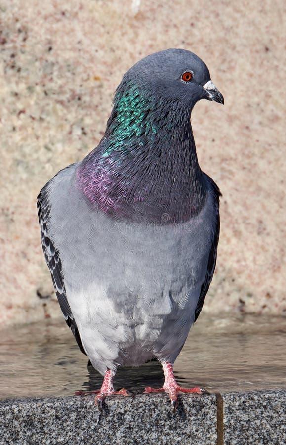 一只灰色鸽子的画象 库存照片
