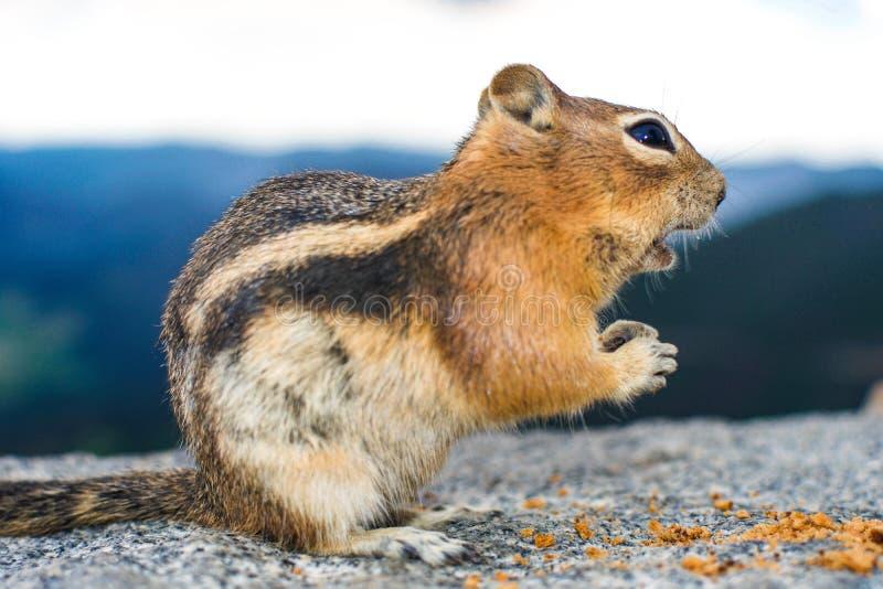 一只灰鼠 免版税库存照片