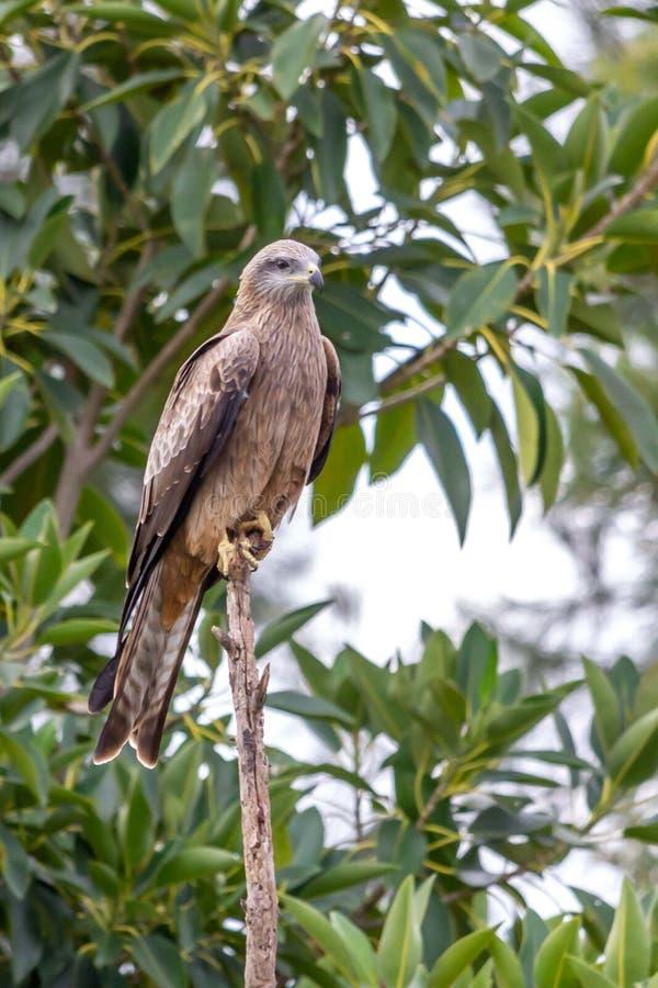 一只狂放的黑鸢的画象,Werribee,维多利亚,澳大利亚,2019年8月 免版税库存图片