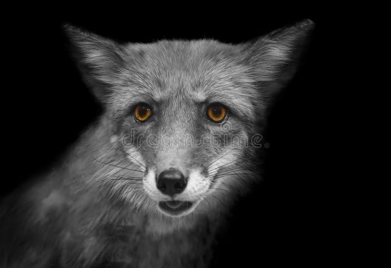 一只狐狸的画象与黄色眼睛的以黑白格式 库存照片