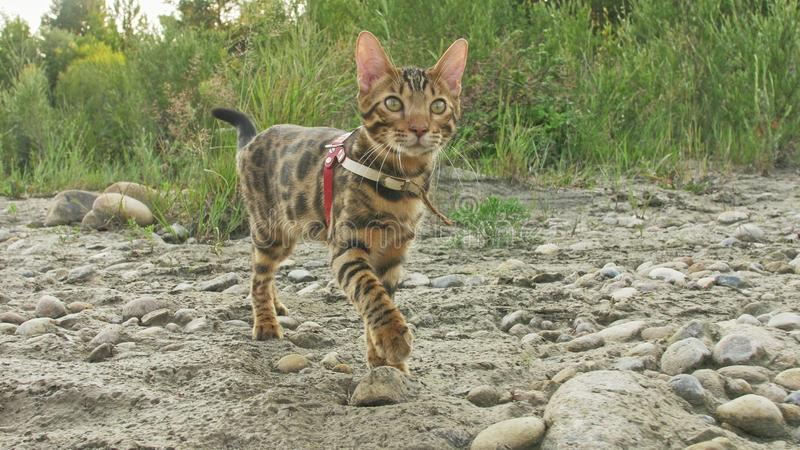 一只猫孟加拉在绿草走 孟加拉全部赌注学会沿森林亚洲豹猫尝试走掩藏 免版税库存图片