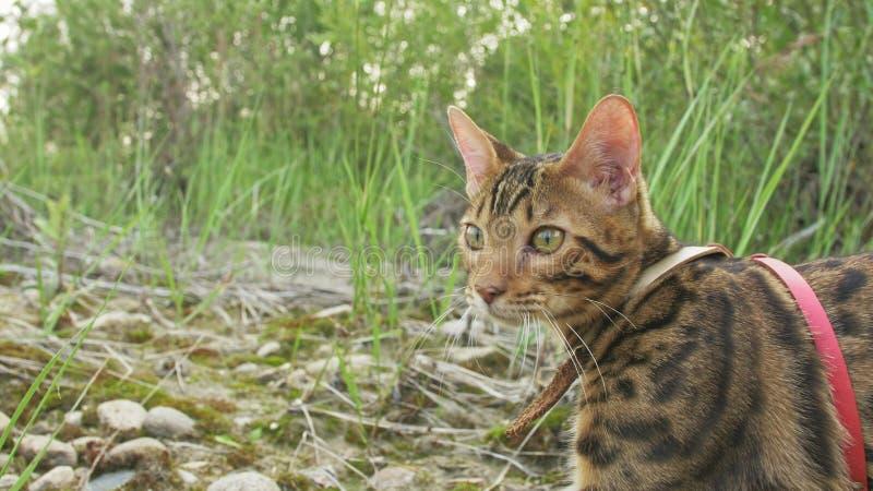 一只猫孟加拉在绿草走 孟加拉全部赌注学会沿森林亚洲豹猫尝试走掩藏 免版税图库摄影