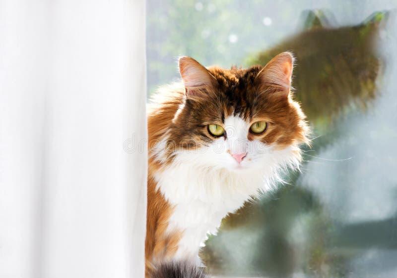 一只猫的画象在玻璃窗的背景的 看在帷幕外面的家猫