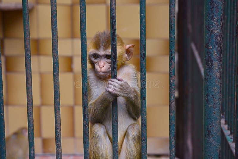 一只猴子被锁在动物园的照片 免版税库存图片