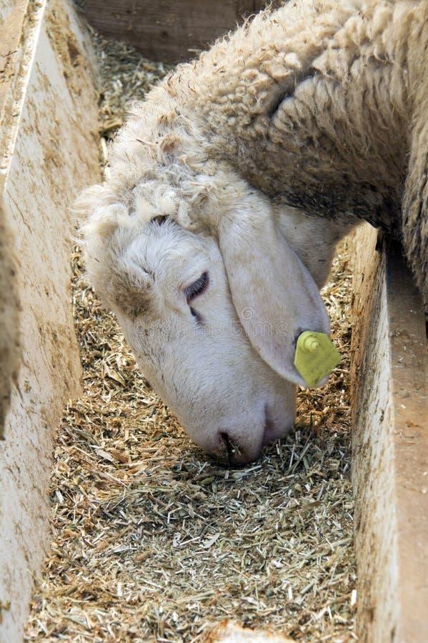 一只甜羊羔的特写镜头 免版税库存图片