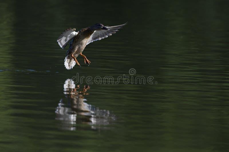 一只登陆与全速的女性野鸭鸭子语录platyrhynchos在一个湖在cirty柏林德国 库存图片