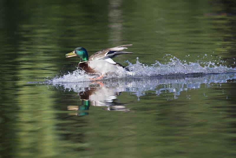 一只登陆与全速的男性野鸭鸭子语录platyrhynchos在一个湖在cirty柏林德国 免版税库存照片