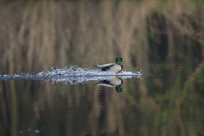 一只登陆与飞溅的男性野鸭duckAnas platyrhynchos在湖 用飞溅往边的水 图库摄影