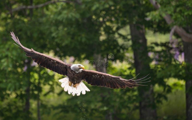 一只白头鹰在缅因 库存图片