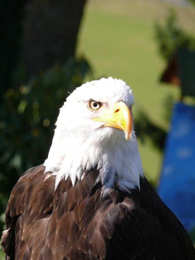 一只白头鹰的头 库存照片