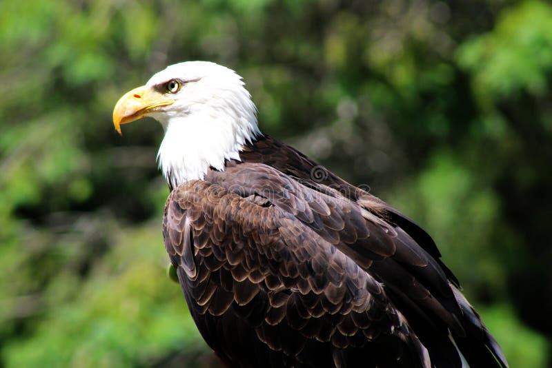一只白头鹰的特写镜头外形 免版税图库摄影