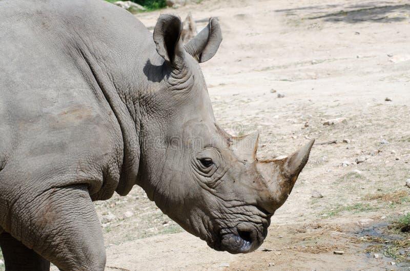 一只白犀牛 免版税库存图片