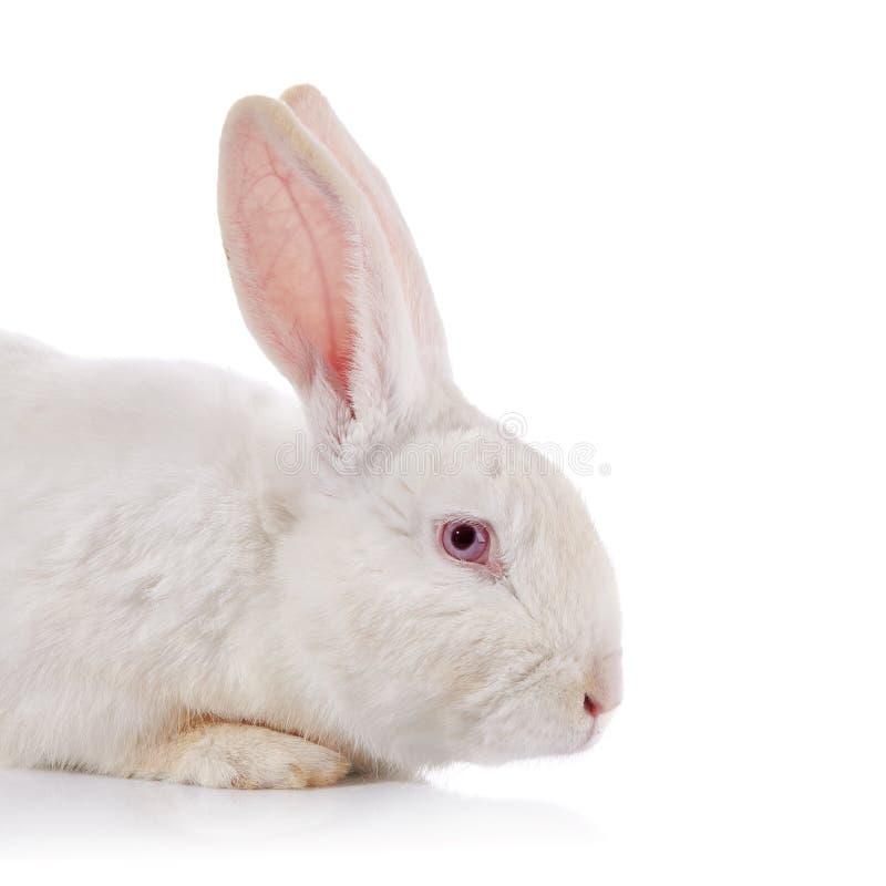 一只白色兔子的画象与红色眼睛的 免版税库存图片