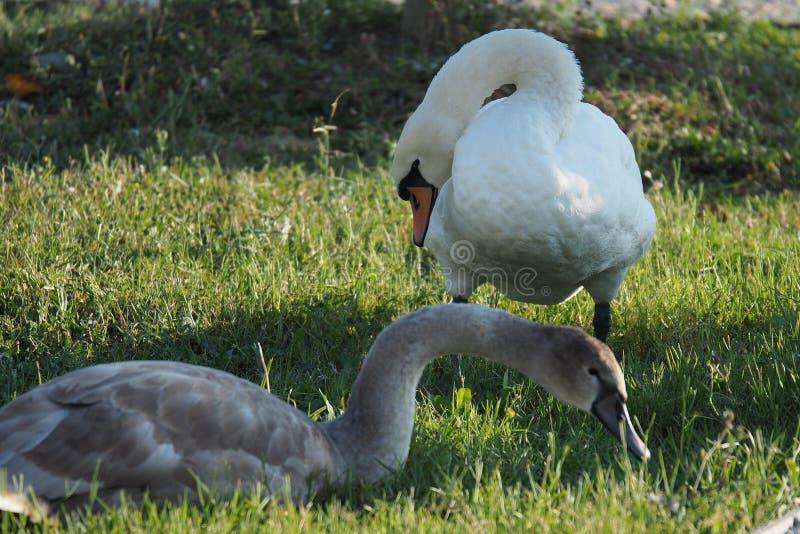 一只白色天鹅和一只灰色鹅在绿色草坪 库存图片