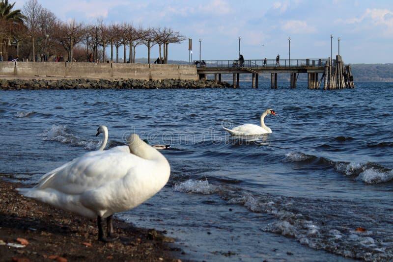 一只白色天鹅的一个美丽的特写镜头 免版税库存照片