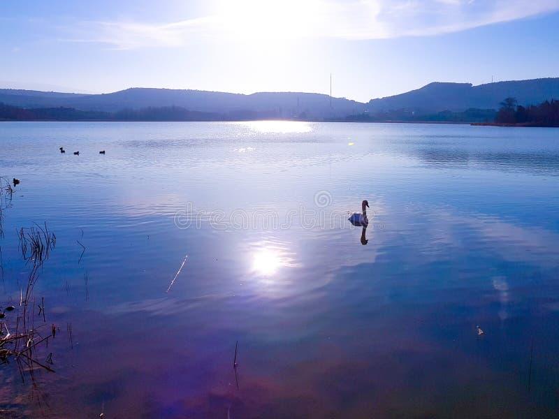 一只白色天鹅的美好的图象在黄昏的在一个镇静湖 免版税图库摄影