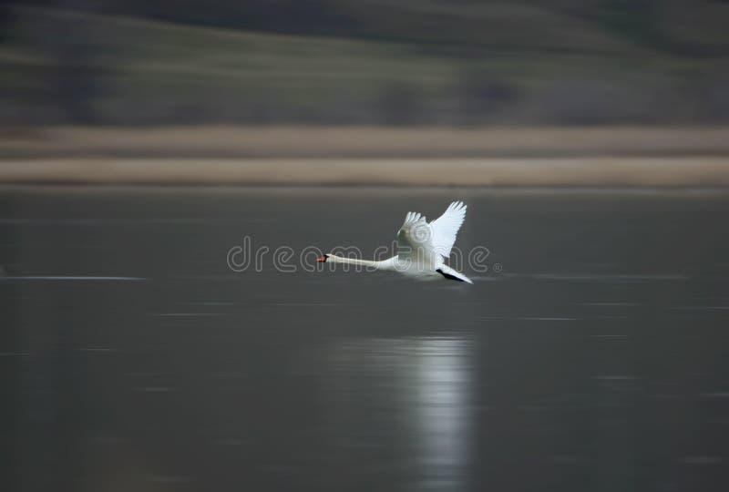 一只白色天鹅迅速飞行在冻水 图库摄影