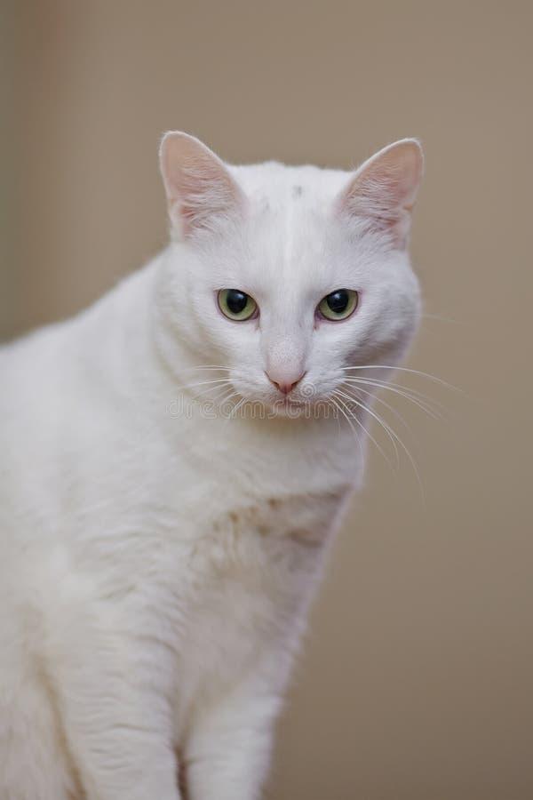 一只白色家猫的画象 库存照片