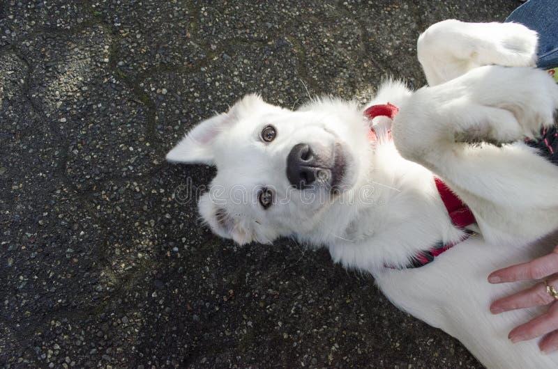 一只白色德国牧羊犬小狗得到腹部磨擦 库存照片