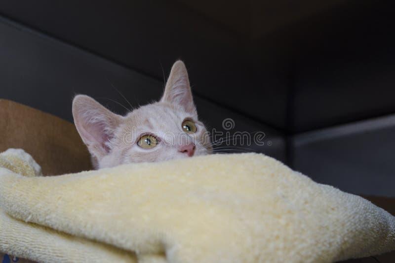 一只白色抢救小猫偷看在一条被折叠的毯子 免版税库存图片