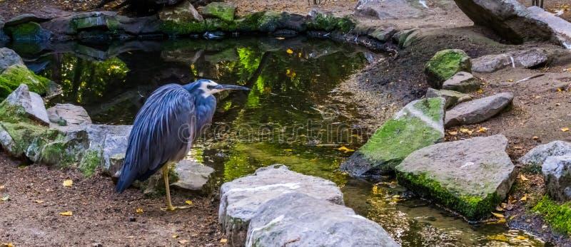一只白色朝向的苍鹭、鸟与蓝色全身羽毛和白色头,热带白鹭的特写镜头从澳大利亚 免版税库存图片