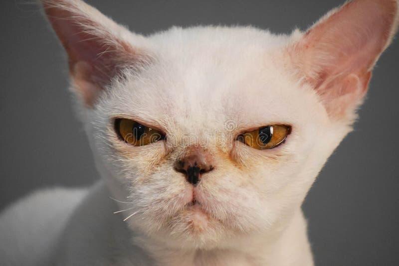 一只白色猫的画象与奇怪的黄色眼睛的在灰色背景 猫看照相机 免版税图库摄影