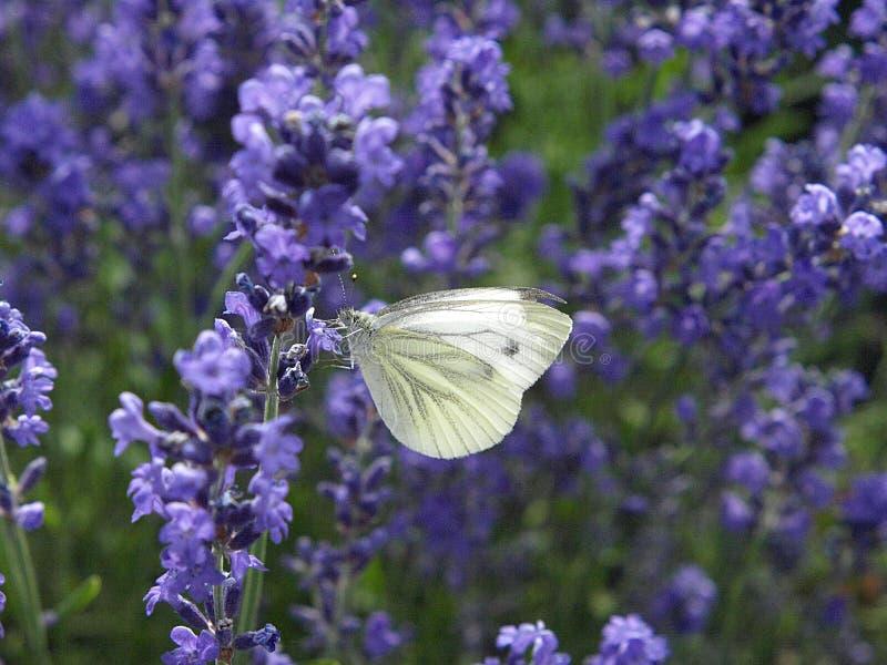一只白色碳蝴蝶的宏指令 免版税图库摄影