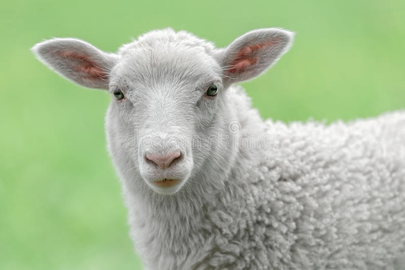 一只白色羊羔的面孔 库存图片