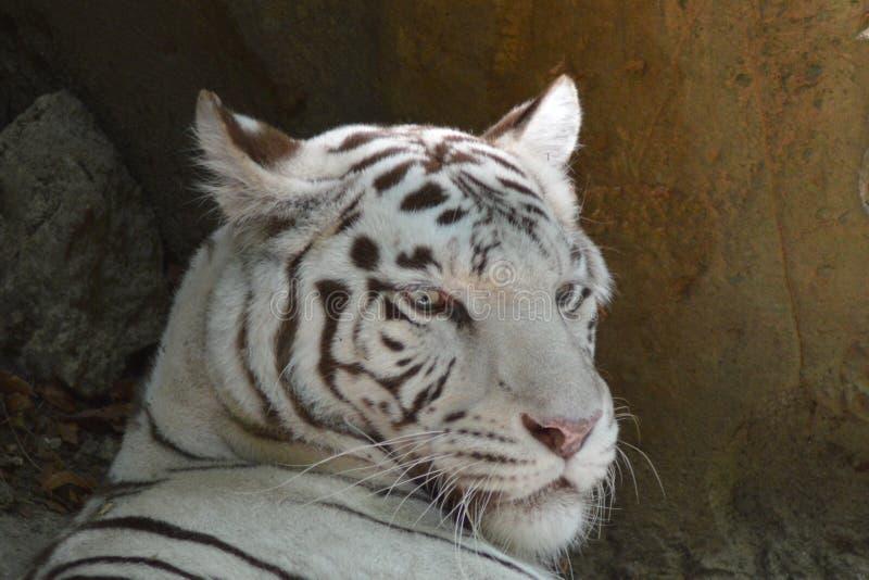 一只白色老虎在法国动物园里 库存照片