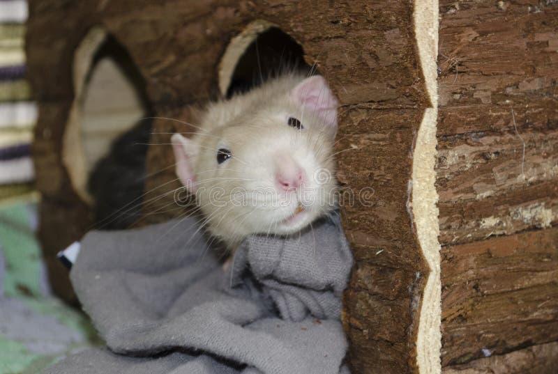 一只白色鼠从他的木房子偷看  库存图片