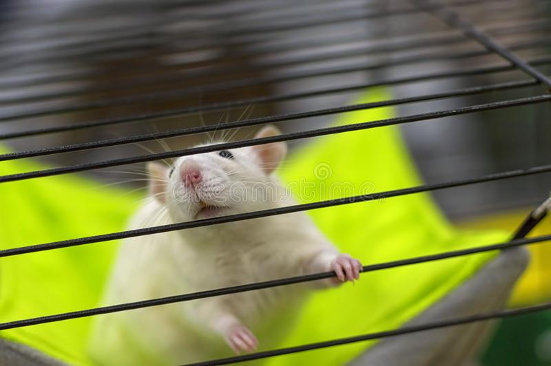 一只白色鼠保持笼子的酒吧并且调查c 免版税库存照片
