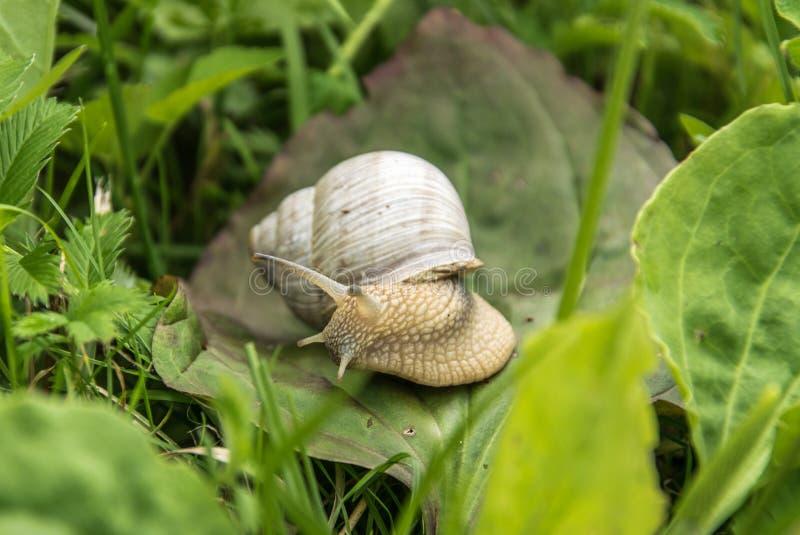 一只白葡萄蜗牛坐在草的绿色叶子 免版税图库摄影