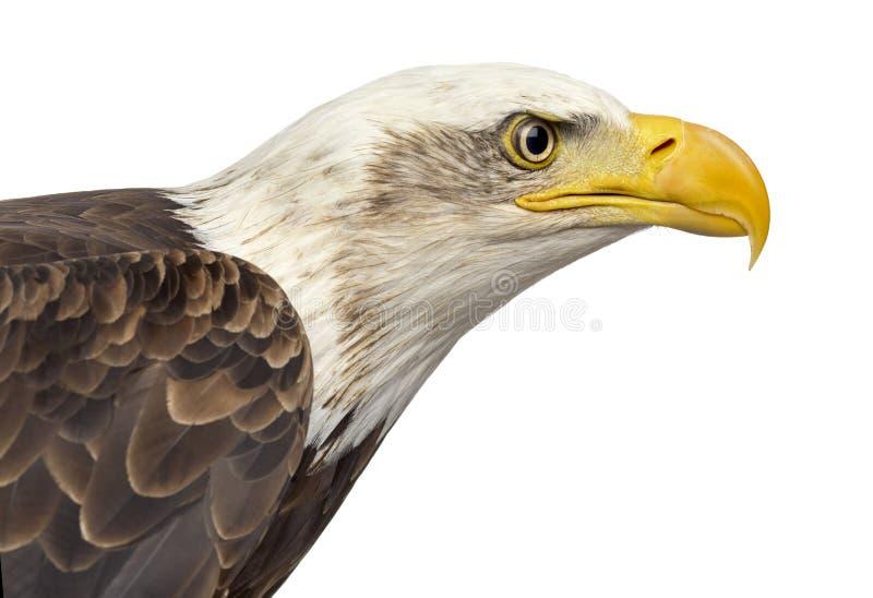 一只白头鹰的特写镜头- Haliaeetus leucocephalus 库存照片