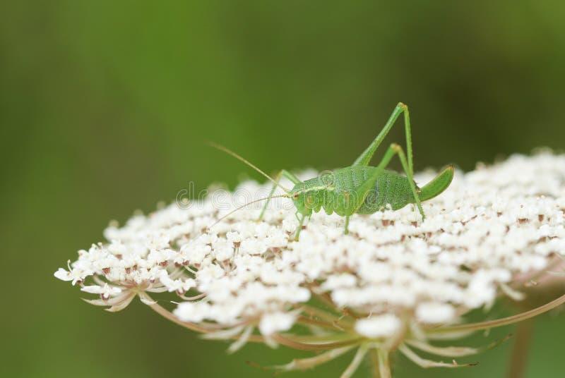 一只相当有斑点的布什蟋蟀,Leptophyes punctatissima,坐花在森林地边缘  免版税库存照片