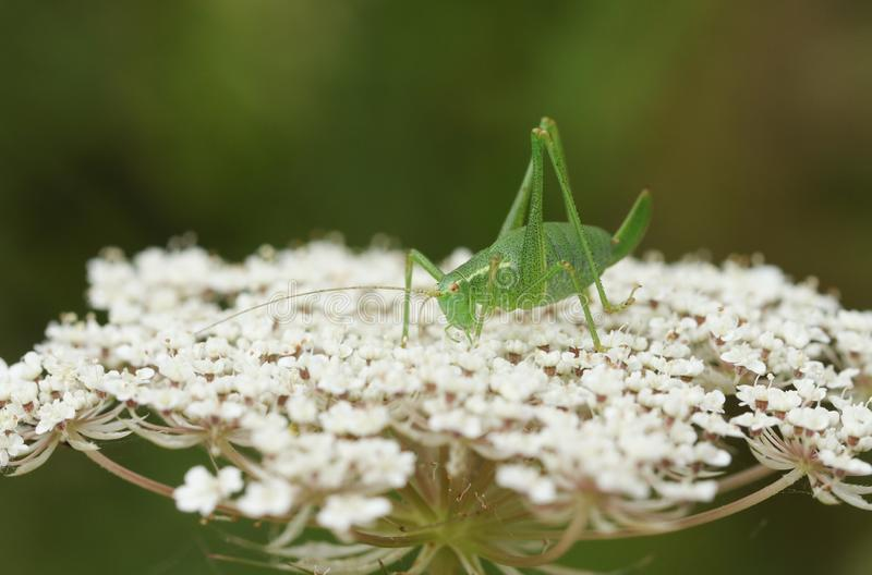 一只相当有斑点的布什蟋蟀,Leptophyes punctatissima,坐花在森林地边缘  库存图片