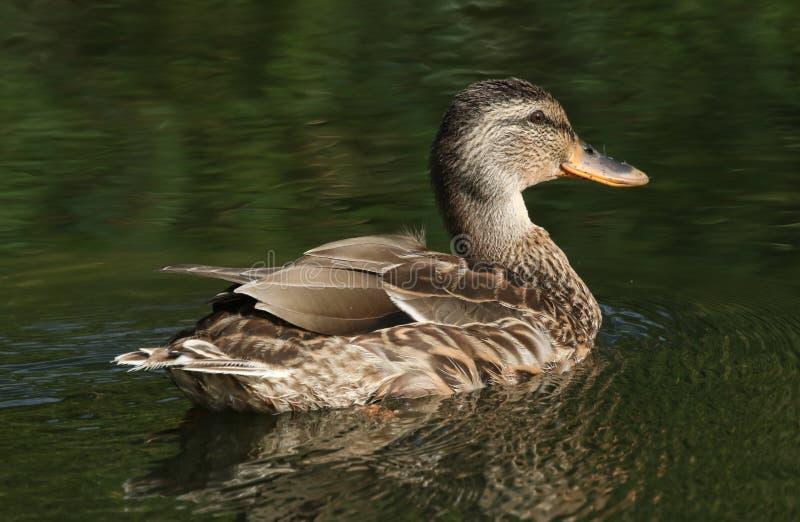 一只相当游泳在河的女性野鸭鸭子语录platyrhynchos 图库摄影