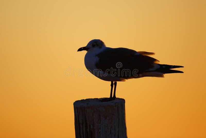 一只笑的鸥-佛罗里达的剪影在日落的 库存图片