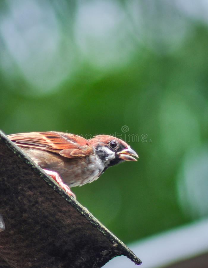 一只紧张的鸟 图库摄影