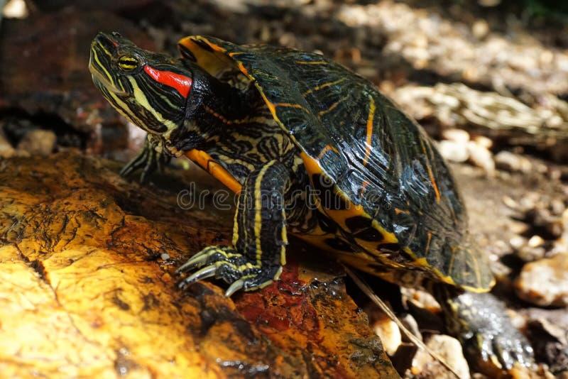 一只红有耳的滑子乌龟在岩石取暖在阳光下 通配的生活 免版税库存图片
