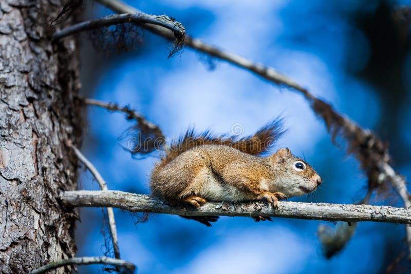 一只红松鼠的特写镜头在树的 图库摄影