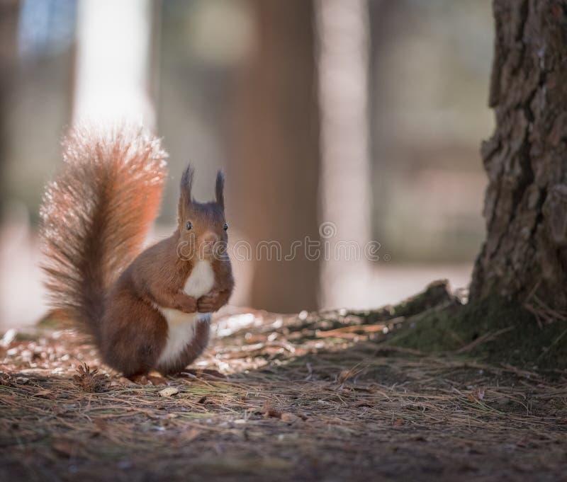 一只红松鼠的特写镜头在秋天森林里 库存图片