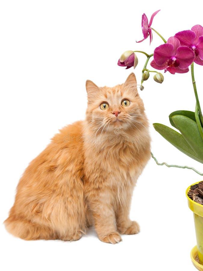 一只红色猫在一个黄色罐的一朵美丽的桃红色兰花旁边坐并且看它 免版税库存照片