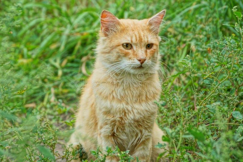 一只红色猫在草中坐,并且绿色在庭院离开 库存图片