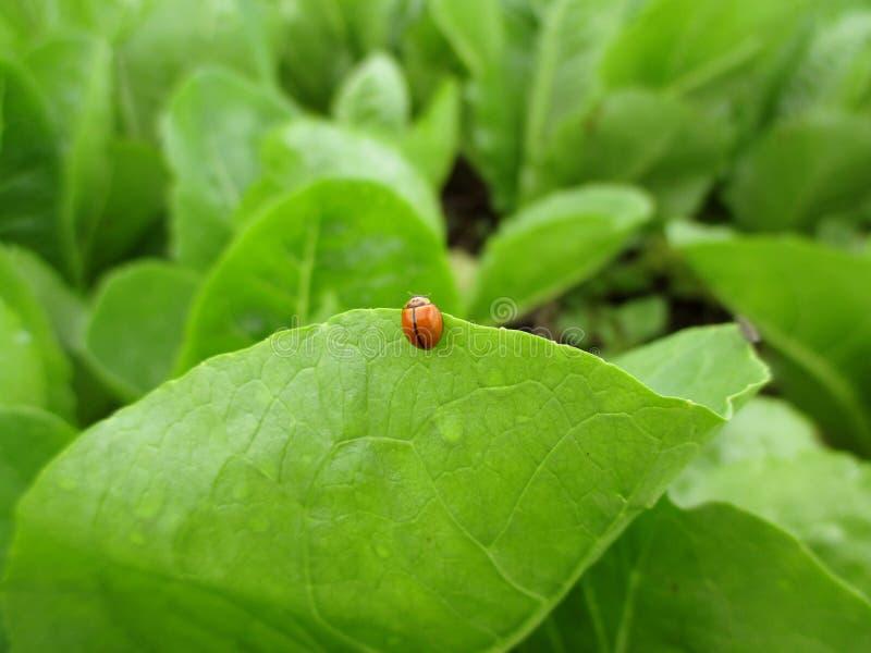 一只红色瓢虫的特写镜头在鲜绿色的叶子边缘的有早晨露水的 图库摄影