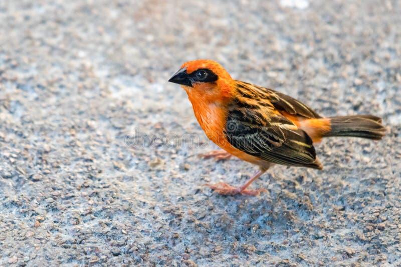 一只红色Fody鸟,Foudia madagascariensis,亦称马达加斯加Fody在维多利亚,塞舌尔 免版税库存图片