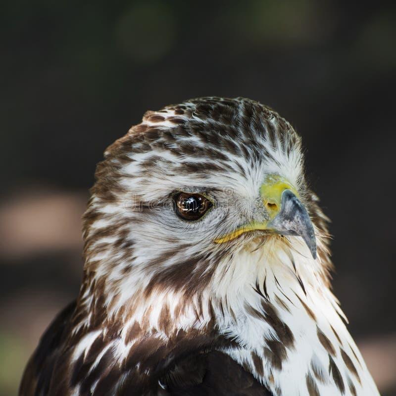 一只红被盯梢的鹰(鵟鸟jamaicensis)的画象 库存图片