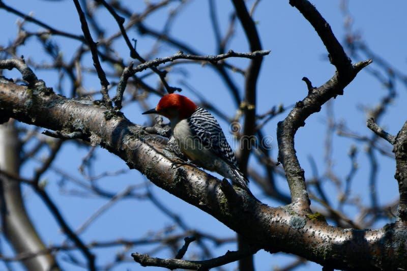 一只红鼓起的啄木鸟 库存图片